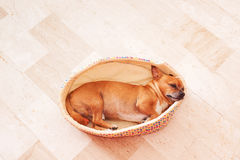 Sleeping Puppy in a Basket Royalty Free Stock Image