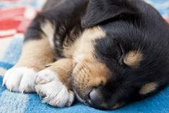 Sleeping Puppy on the blanket Stock Images