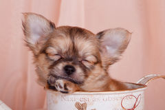 Sleeping puppy Chihuahua Stock Photography