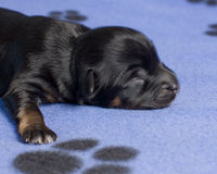 Sleeping puppy close-up stock photography