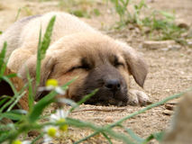 Sleeping puppy dog. Cute puppy dog sleeping in the sand Royalty Free Stock Photo