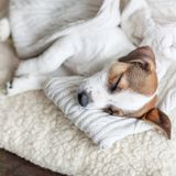Sleeping puppy on dog bed Stock Images