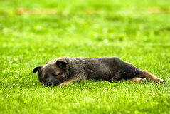 Sleeping puppy dog. On the green grass field Royalty Free Stock Images