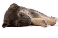 Sleeping puppy dog, isolated. On white Stock Photo