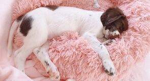 Free Sleeping Puppy Dog On Pink Bed Stock Photos - 190353793