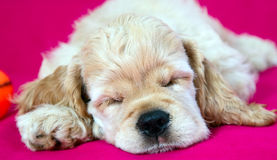 Sleeping puppy dog Stock Photos