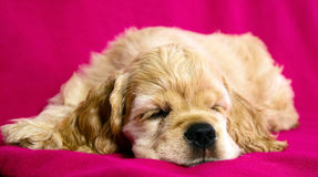 Sleeping puppy dog Stock Images