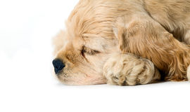 Sleeping puppy dog Royalty Free Stock Photo