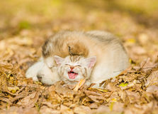 Sleeping puppy embracing kitten on autumn leaves Royalty Free Stock Images