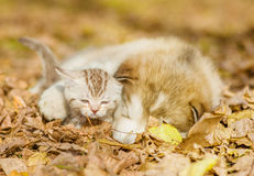 Sleeping puppy embracing kitten on autumn leaves Royalty Free Stock Photo