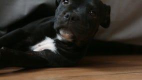 Sleeping puppy of English Staffordshire Bull Terrier