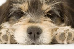 Sleeping puppy focus on his noise Stock Photography