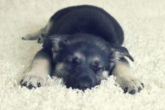 Sleeping puppy furry blanket Stock Photo