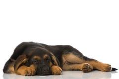 Sleeping puppy Royalty Free Stock Image