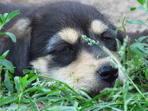 Sleeping puppy. Little puppy is sleeping in the summer garden Royalty Free Stock Photos