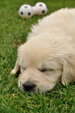Sleeping puppy next to toy. On green grass Royalty Free Stock Photo