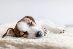 Free Sleeping Puppy On Dog Bed Royalty Free Stock Photos - 115022918