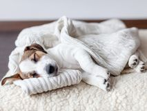 Free Sleeping Puppy On Dog Bed Stock Photos - 143531193