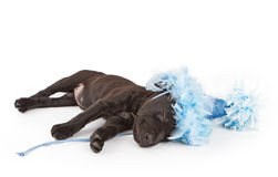 Sleeping puppy in a party hat Stock Image