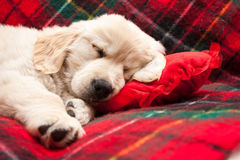 Sleeping puppy on plaid Royalty Free Stock Images