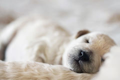 Sleeping puppy poodle Stock Image