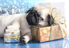 Sleeping puppy pug Stock Image