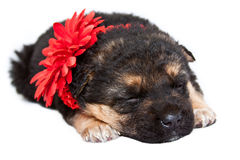 Sleeping puppy with red satin flower Royalty Free Stock Image