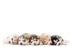Sleeping puppy of Siberian husky Stock Photo