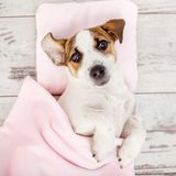 Sleeping puppy on dog bed Royalty Free Stock Images