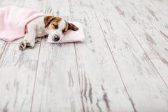 Sleeping puppy on small pillow Stock Photo