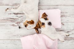 Sleeping puppy on small pillow Royalty Free Stock Photos