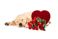 Sleeping Puppy Valentines Heart and Roses Royalty Free Stock Photography