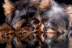 Sleeping puppy. Yorkshire terrier puppys on a black background Royalty Free Stock Photo