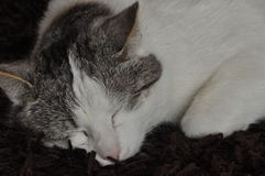The sleeping and purring cat. Pet. Stock Photo