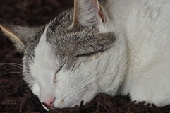 The sleeping and purring cat. Pet. Rest Royalty Free Stock Images