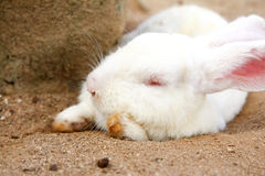 Sleeping rabbit Stock Photography