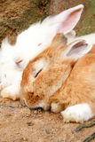 Sleeping rabbits Royalty Free Stock Photos