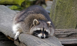 Sleeping raccoon stock photos