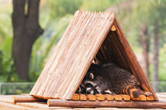 Sleeping   raccoon Stock Photo