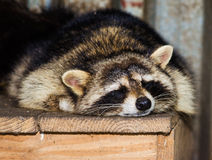 Sleeping raccoon close-up Stock Photo