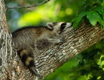 Sleeping raccoon draped over a tree branch in the shade.