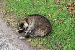 Sleeping Raccoon Royalty Free Stock Images