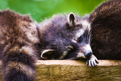 Sleeping racoon. S (lat. Procyon lotor), focus is on the eyes Royalty Free Stock Photo