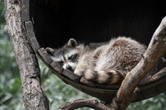 Sleeping racoon dog in tun Royalty Free Stock Image