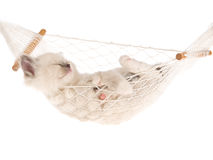 Sleeping Ragdoll kitten in hammock Royalty Free Stock Photos