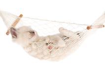 Sleeping Ragdoll kitten in hammock Royalty Free Stock Photos
