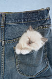 Sleeping Ragdoll kitten in pocket of pants Stock Photo