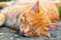 Sleeping red cat Royalty Free Stock Image