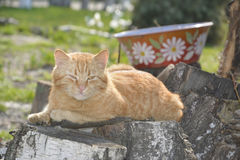 Sleeping red cat. Royalty Free Stock Images
