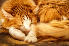 Sleeping red cat. Red cat rolled himself up into a ball stock photo